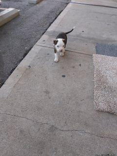 Brindle bullmastiff puppy