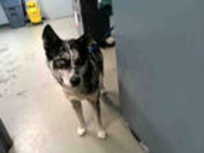 Adopt HUDSON a Merle Husky / Mixed dog in Tallahassee, FL (25307826)