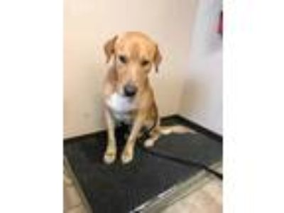 Adopt Cammy a Tan/Yellow/Fawn Mixed Breed (Large) / Mixed dog in St.