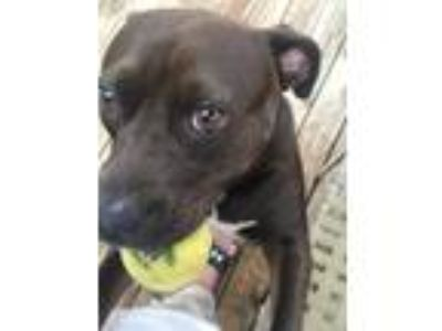 Adopt Tipper a Brown/Chocolate American Staffordshire Terrier / Labrador