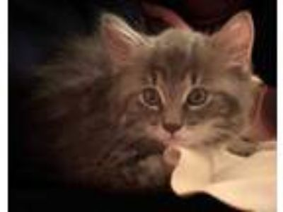 Adopt Giuliani a Gray or Blue Domestic Longhair / Domestic Shorthair / Mixed cat