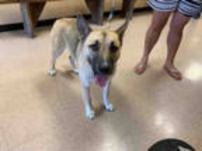 Adopt LUNA a Brown/Chocolate - with Black German Shepherd Dog / Mixed dog in