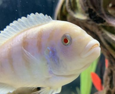South American and African Cichlids