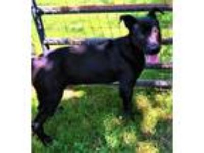 Adopt Coda a Black German Shepherd Dog / Mixed dog in Midland, VA (25364686)