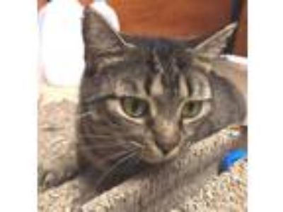 Adopt Sadie a Gray, Blue or Silver Tabby Domestic Shorthair / Mixed (short coat)