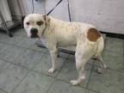 Adopt Leo a Boxer, Mixed Breed