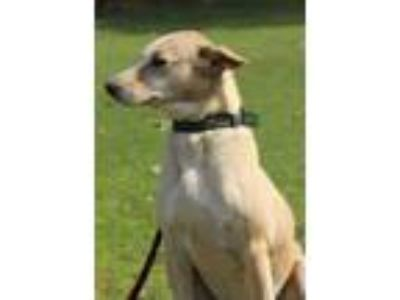 Adopt MAUSI a Tan/Yellow/Fawn - with Black Whippet / Retriever (Unknown Type) /