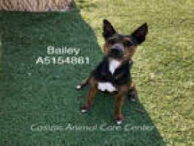Adopt BAILEY a Black American Pit Bull Terrier / Basenji / Mixed dog in Castaic