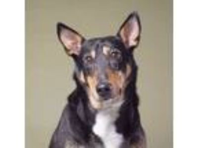 Adopt Hansel a Doberman Pinscher, Australian Cattle Dog / Blue Heeler