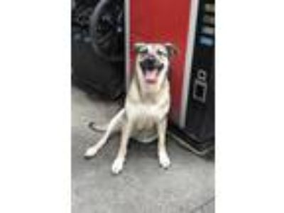 Adopt Ginger *In Foster Care* a Tan/Yellow/Fawn German Shepherd Dog / Mixed dog