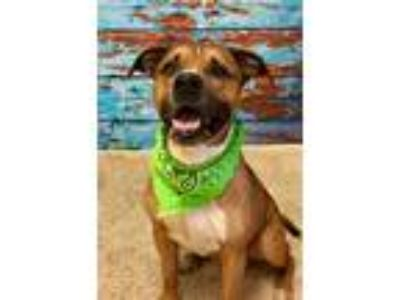 Adopt RUSTY (F) a Brown/Chocolate - with White Mixed Breed (Medium) / Mixed dog