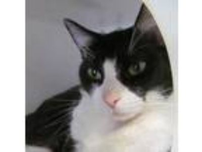 Adopt Chi a All Black Domestic Shorthair / Domestic Shorthair / Mixed cat in