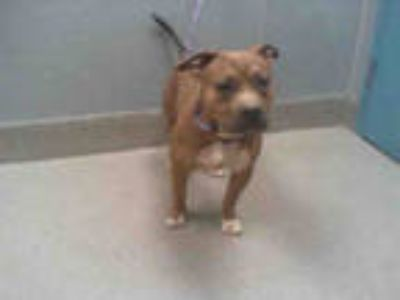 Adopt *BURT a Brown/Chocolate - with White American Pit Bull Terrier / Mixed dog