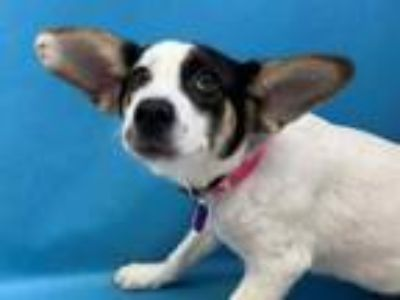 Adopt Lottie a Black Jack Russell Terrier / Mixed dog in St. Paul, MN (26218026)