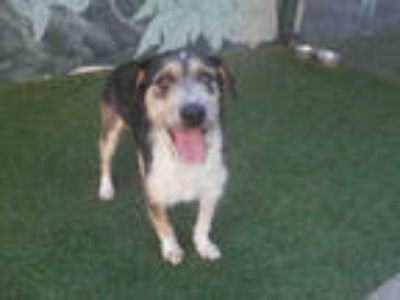 Adopt ALFIE a Tricolor (Tan/Brown & Black & White) Schnauzer (Miniature) / Mixed