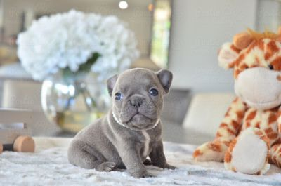 French Bulldog PUPPY FOR SALE ADN-99396 - Blue Female Pandora