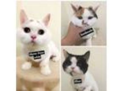 Adopt Blind Kuwaiti Kitties a Exotic Shorthair