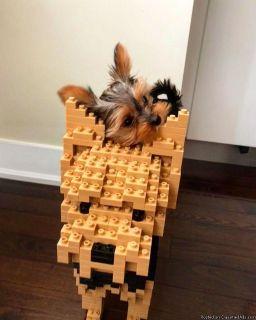 Playful yorkie puppies