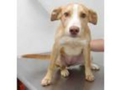 Adopt Buttercup a Tan/Yellow/Fawn Collie / Mixed dog in Morton Grove