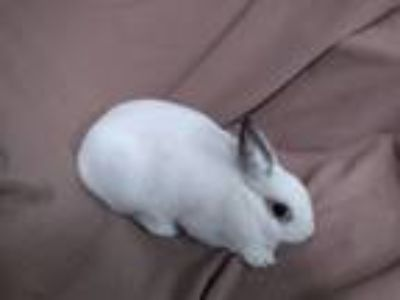 Adopt Alice a Other/Unknown / Mixed rabbit in Idaho Falls, ID (23991084)