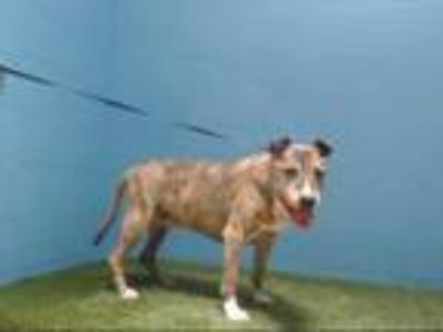 Adopt PRINCESS MIA a Brindle American Pit Bull Terrier / Mixed dog in Orlando