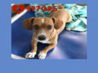 Adopt CHUCK a Brown/Chocolate - with White Dachshund / Mixed dog in San Antonio