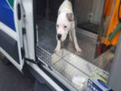 Adopt JUNEBUG a White Boxer / Mixed dog in Fort Myers, FL (25598604)