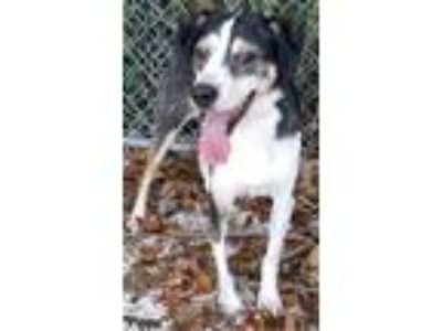 Adopt Pippa a Black - with White Beagle / Jack Russell Terrier / Mixed dog in