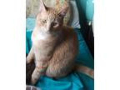 Adopt Micah a Orange or Red (Mostly) Domestic Shorthair / Mixed (short coat) cat