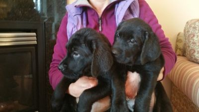 Labrador Retriever PUPPY FOR SALE ADN-78043 - BLACK LAB PUPS FROM CHAMPION LINES