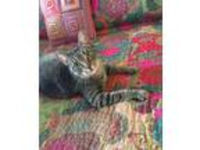 Adopt Lorena a Tabby, Domestic Short Hair