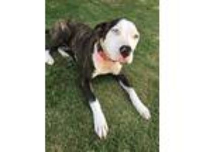 Adopt Abbie a Brindle - with White American Pit Bull Terrier / Pit Bull Terrier