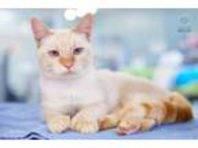 Adopt Maine a Extra-Toes Cat / Hemingway Polydactyl, Domestic Short Hair