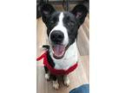 Adopt Rylan a Black - with White Border Collie / Mixed dog in Sugar Grove