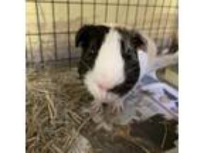 Adopt Jack-Jack a Brown or Chocolate Guinea Pig / Mixed small animal in Largo