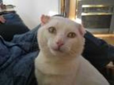 Adopt Louis a Cream or Ivory Domestic Shorthair (short coat) cat in Livonia