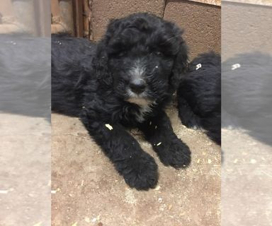 Bernedoodle PUPPY FOR SALE ADN-130994 - Superior quality Bernedoodles