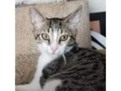 Adopt Jupiter a Brown or Chocolate Domestic Shorthair cat in Forest Hills