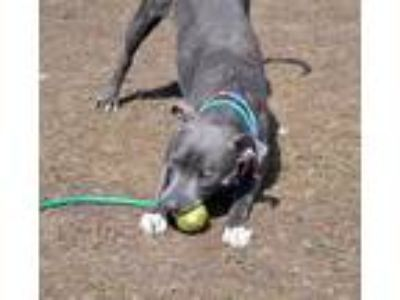 Adopt Pepper a Brindle American Pit Bull Terrier / Mixed dog in Westampton