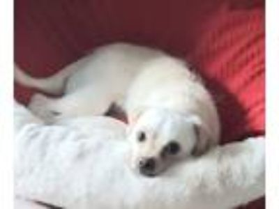 Adopt Maui Jim a White Terrier (Unknown Type, Small) / Mixed dog in Atlanta