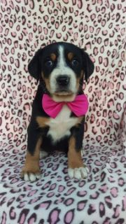 Greater Swiss Mountain Dog PUPPY FOR SALE ADN-93385 - AKC Greater Swiss Mountain Dog Puppy