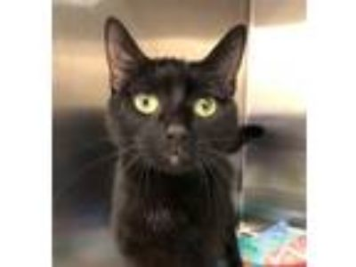 Adopt Sprinkles a All Black Domestic Shorthair / Mixed (short coat) cat in