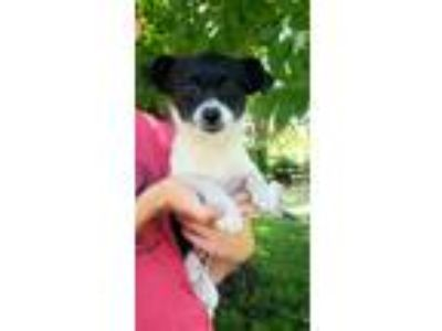 Adopt Janet a Black - with White Terrier (Unknown Type, Small) / Mixed dog in