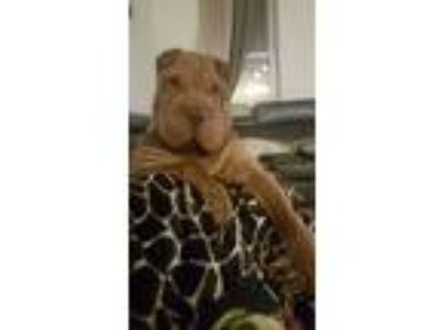 Adopt Mateo a Brown/Chocolate Shar Pei dog in Jersey City, NJ (25639052)