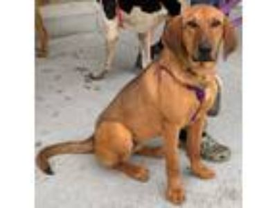 Adopt Faye: Not at the shelter a Golden Retriever, Hound