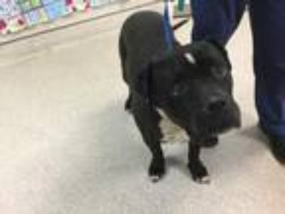 Adopt A1521950@ RIVERSIDE SHELTER a Black - with White Mastiff / Mixed dog in
