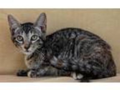 Adopt Chicklet a Domestic Mediumhair / Mixed (medium coat) cat in LAFAYETTE