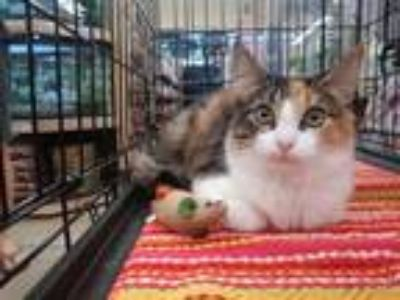 Adopt Tobiko a Tortoiseshell Domestic Shorthair / Mixed (short coat) cat in