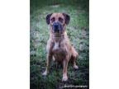 Adopt Cassie a Black Mouth Cur, Catahoula Leopard Dog