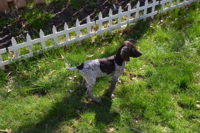 German Shorthaired Pointer PUPPY FOR SALE ADN-75111 - AKC German Shorthaired Pointer puppies